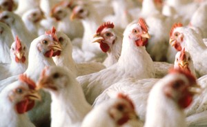 chicken-farms-for-sale
