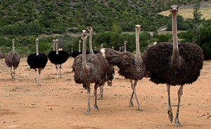 ostrich-farms-for-sale
