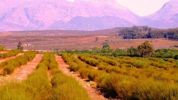 Rooibos farms for sale Western Cape