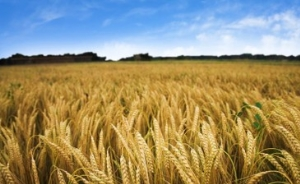 wheat-crop-farms-for-sale